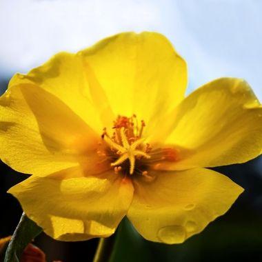 Star Flower NW