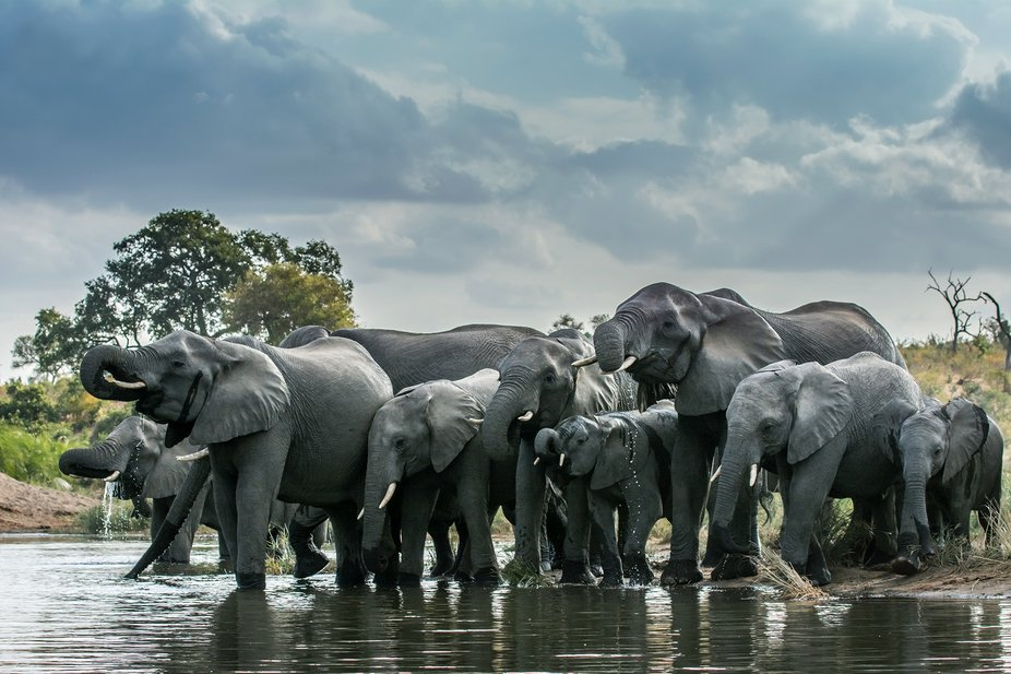 Elephants quenching their thirst on this hot day in the Kruger National Park in South Africa. Tem...