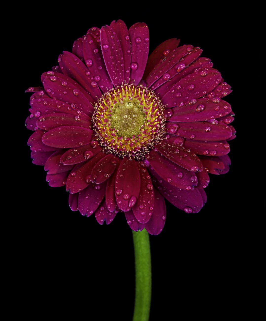 Pink gerbera droplets