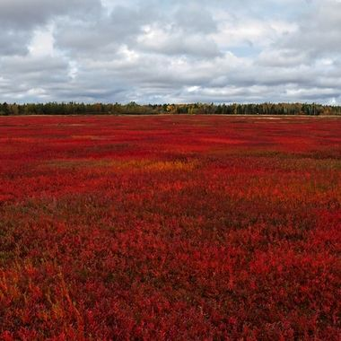 Blueberry fields showing their fall colours.