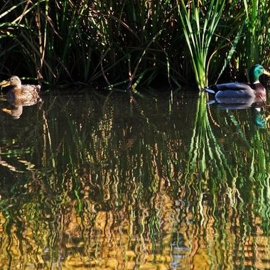 Two ducks swimming in a pond with reflections.