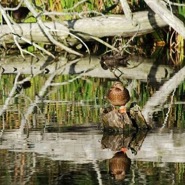 A duck sitting on a tree stump in a small pond.