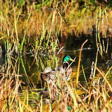 A pair of ducks hiding in the tall grass along the shore.