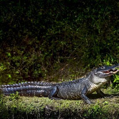 Gator Smiling NW