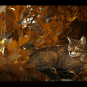 Warm autumn shot of a cat hiding behind bushes as she looks out into the distance.