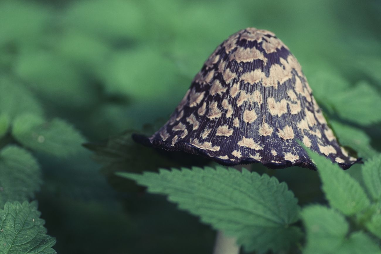 It's shroom season! And saw this one peeping through the leaves.