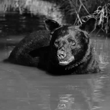 Caught this black bear in a creek on a hot August afternoon.