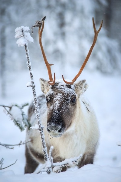 reindeers have to be one of my favorite animal!