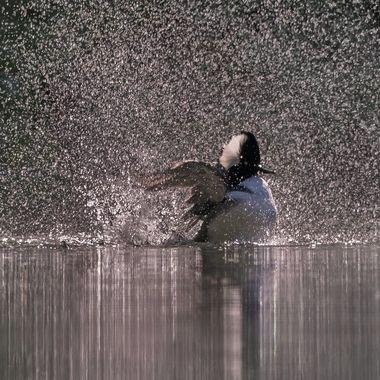 A male hooded merganser making a splash under the early morning sun.