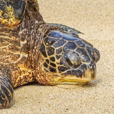 Green turtle in for the night on Turtle Beach Maui, Hawaii