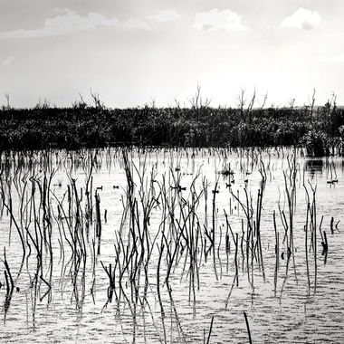 Marsh Land at Lake Apopka NW
