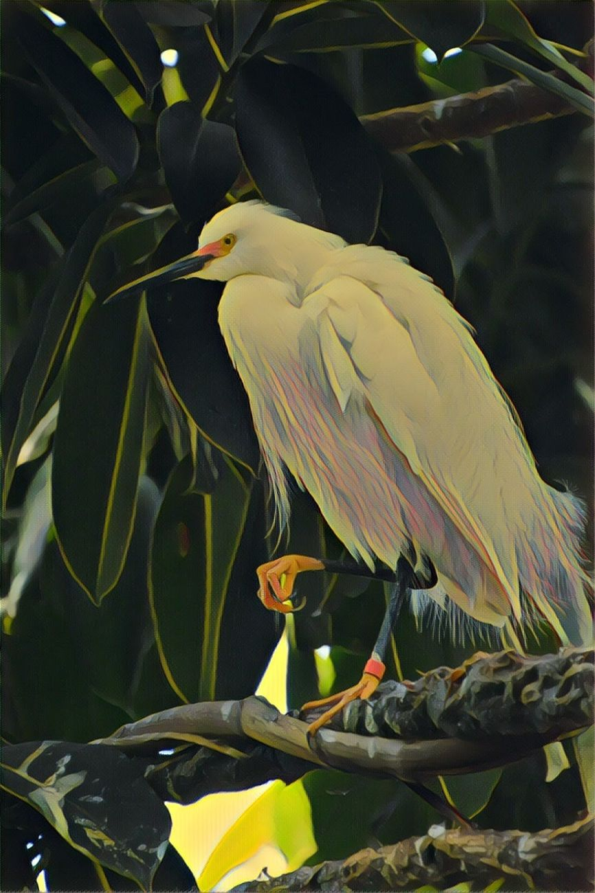 Snowy Egret Perched