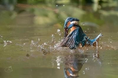 Kingfisher (Alcedo Atthis) —— #kingfisher #commonkingfisher #catch #king_birds #birdsofinstagram #picoftheday #mybestshot #ig_birdwatchers #birds_illife #natgeowild #wildlifeplanet #wildlifephotography #gaggio #martinpescador #martinpescatore #beautifulbi