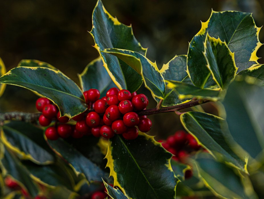Love this holly tree because of the mix of colors.