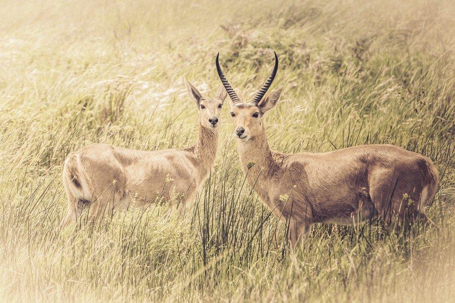 Antelopes standing in grasslands