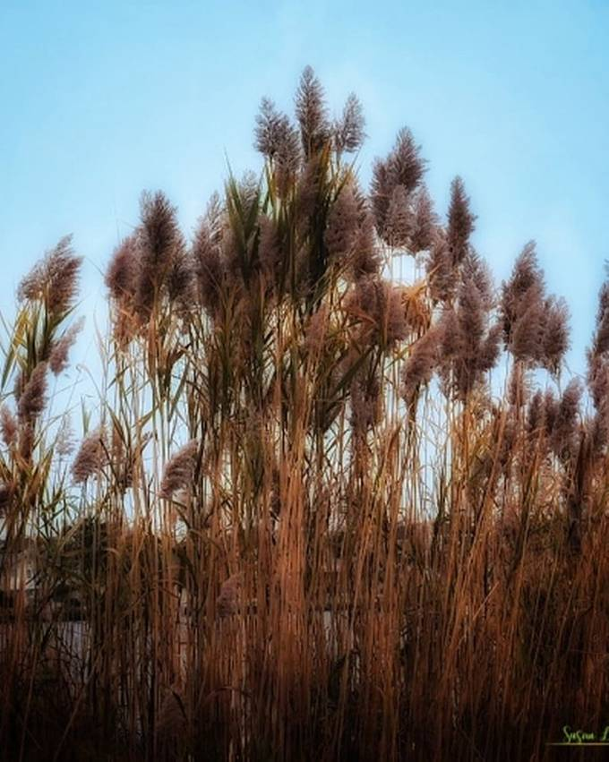 Tall grasses at the Jersey Shore
