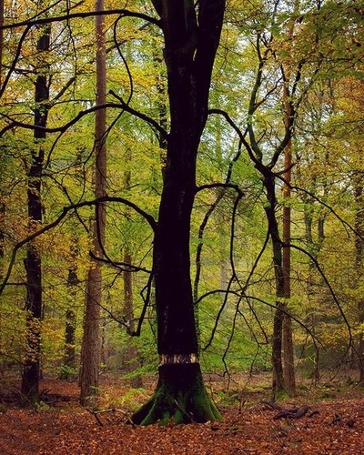 Most European forests are now dressed in beautiful autumn colors, but while walking through #Speulderbos my eye was actually caught by this contrasting dark dying tree; a result from ring barking (or girdling), as can be seen (light band) at the lower par