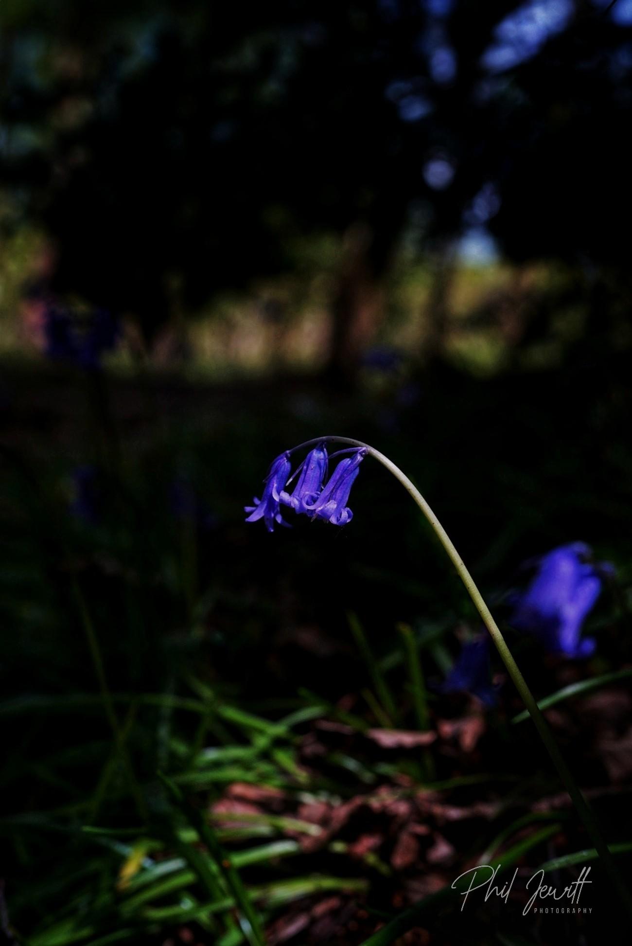 Shaded bluebells