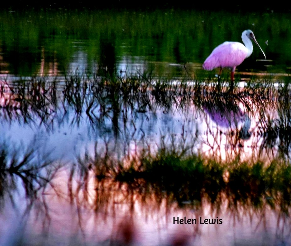 Rosette spoonbill on pink reflected pond