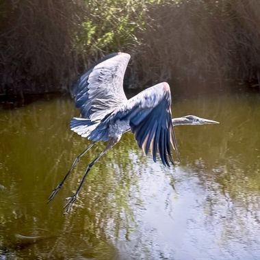 Great Blue Heron Take Off NW
