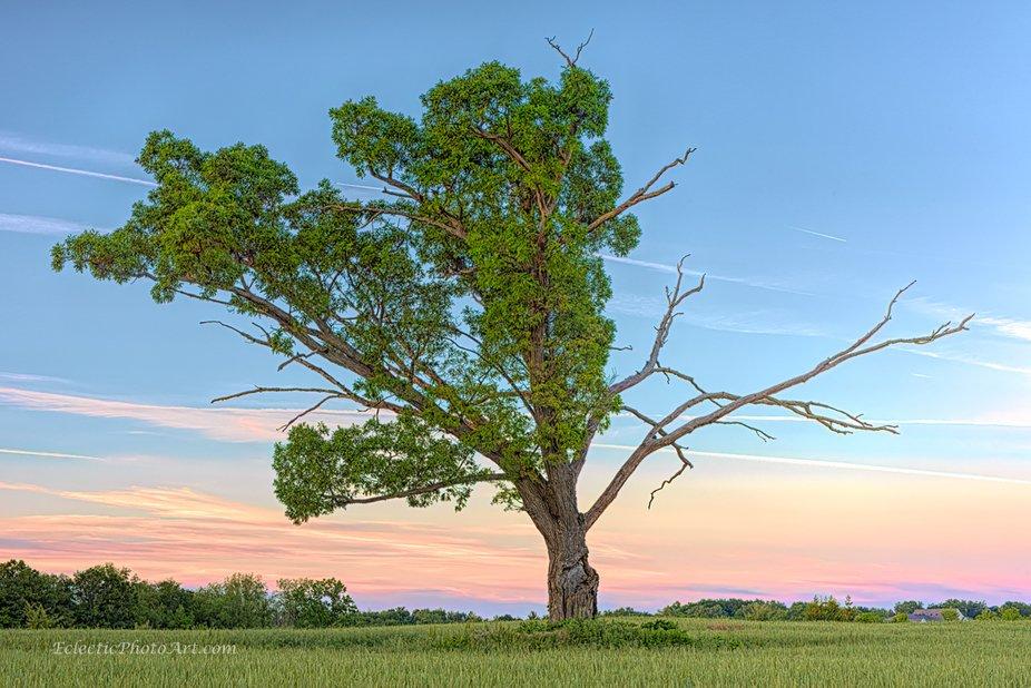 Solitary tree in a farmer's field. looks like it was hit by lightning. Sun was behind me.