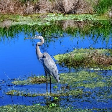 Great Blue Heron in Wetlands NW