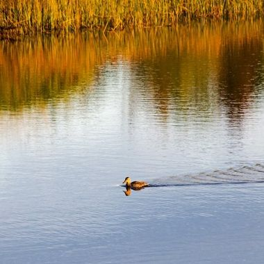 A lone duck swimming along the shoreline of a calm river inlet.