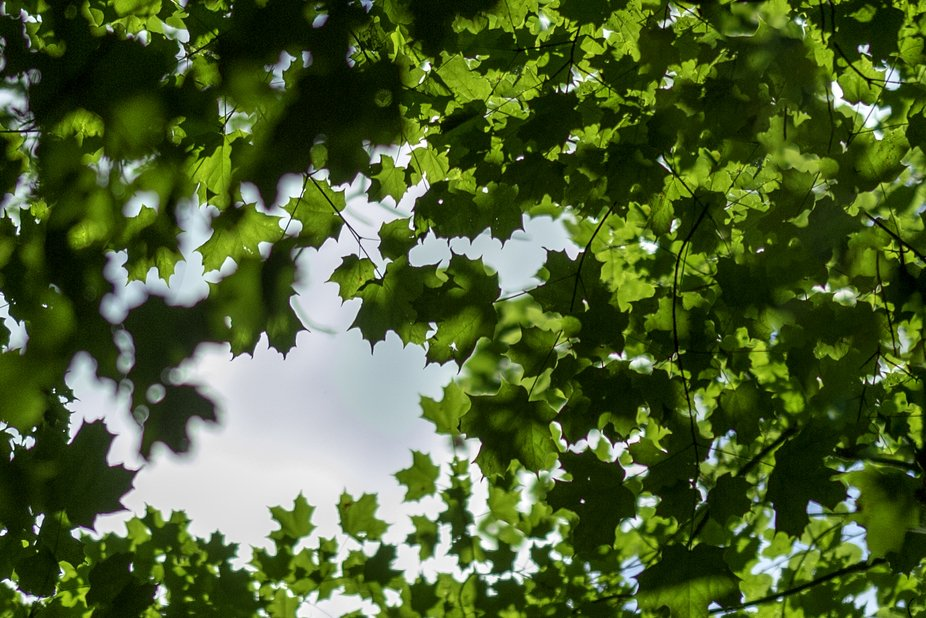 looking up through the maples