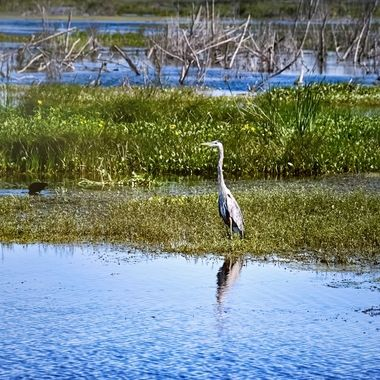 Great Blue Heron Searching for Fish NW