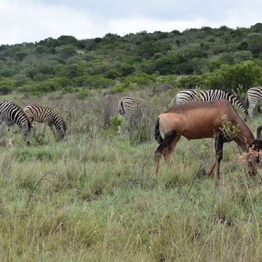 Red hartebeest  and Burchell's zebra graze sometimes together in Addo Elephant National Park.