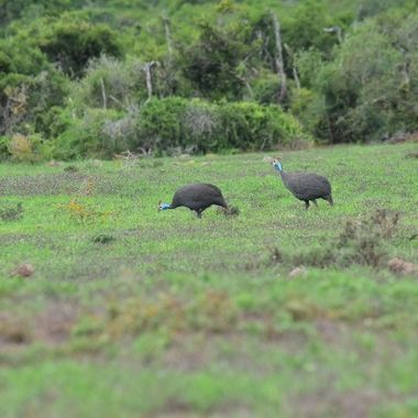 Two guinea fowls in Addo Elephant National Park.