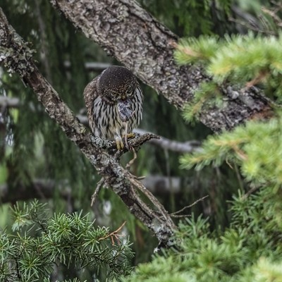 Northern Pygmy Owl and shrew