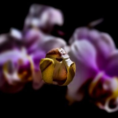 Orchid Dreams NW