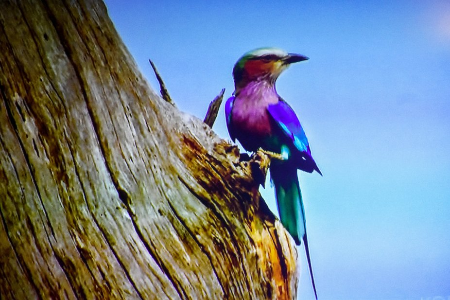 a colorful bird, a theif stealing from the nest of squirrels