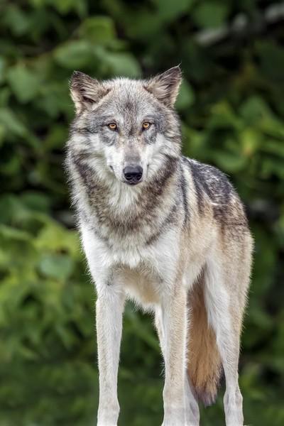 Standing Wolf