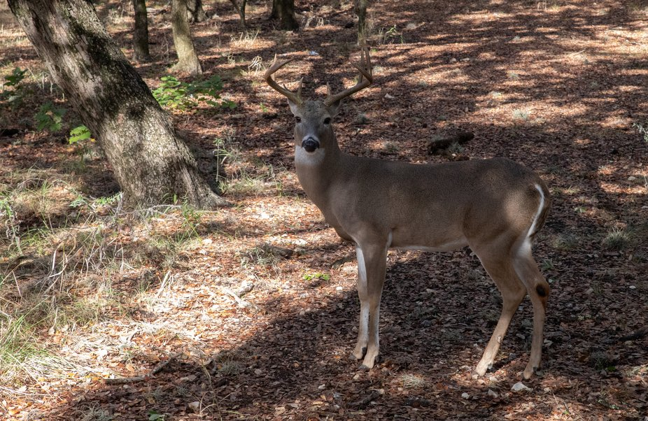 I saw this buck with two others in a local park. He stood there while I was on the walking trail ...