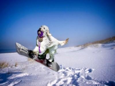 My dog goes snowboarding