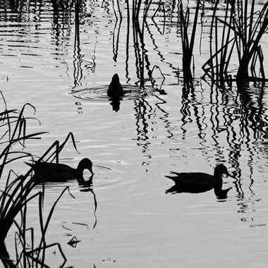Three ducks in a calm marsh.