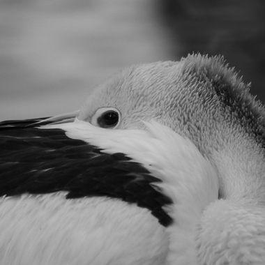 Pelican- monochrome