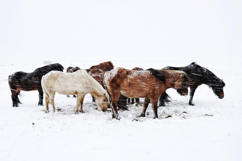 Wild horses in Icelandic landscape