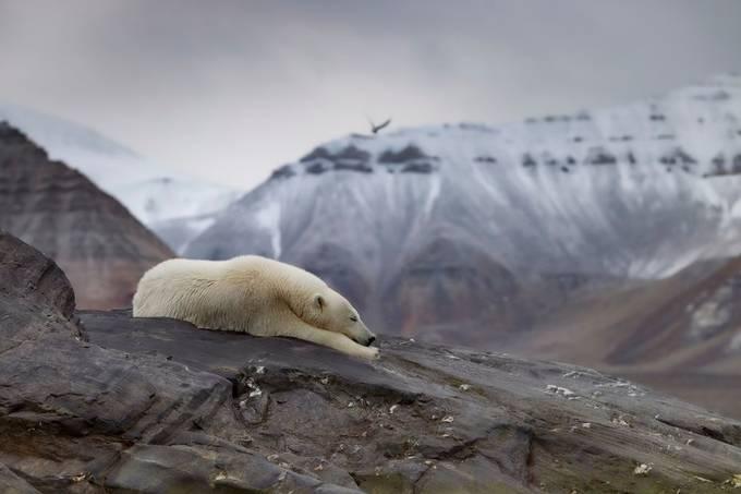 Sleepy bear by paaluglefisklund - Celebrating Nature Photo Contest Vol 7