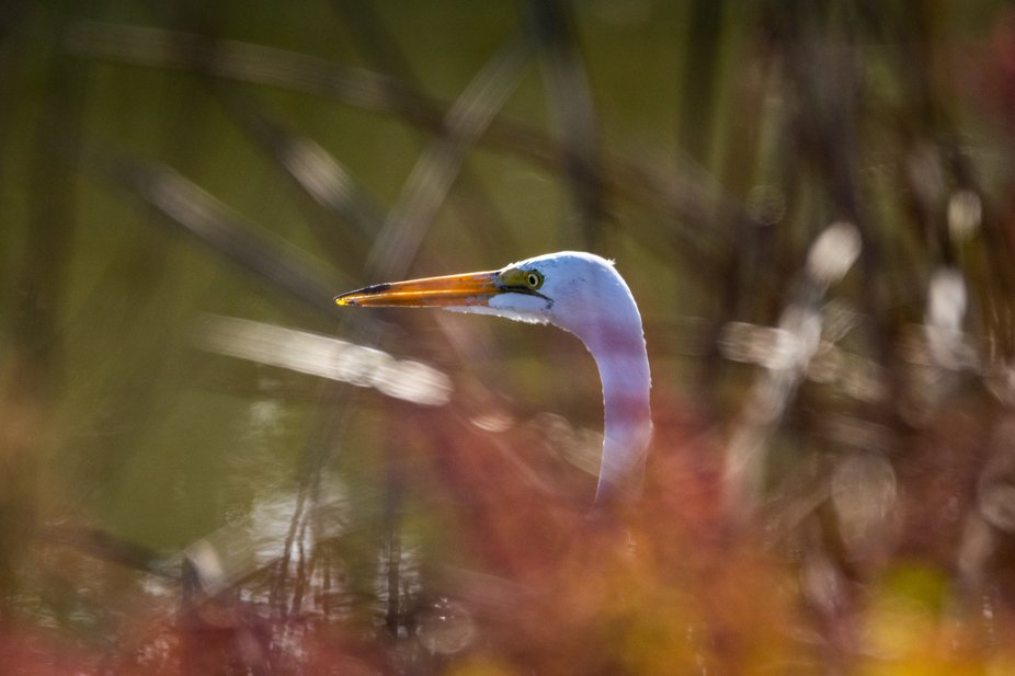The Great White Egret in a marsh near my home.