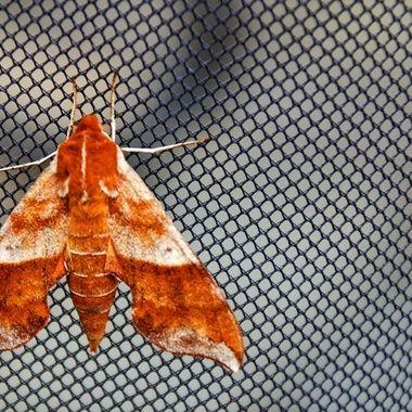 A moth on bug netting.
