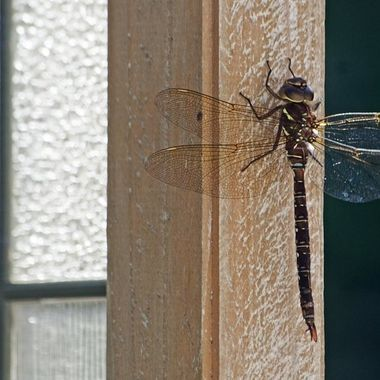 Close-up of a dragonfly on a fence.