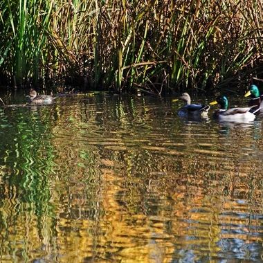 A group of ducks along the shoreline of a marsh.