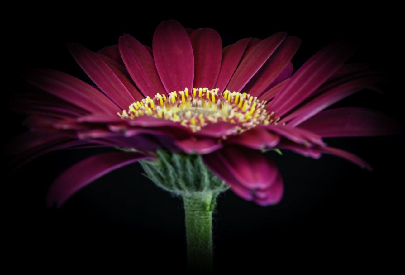 Gerbera flower against black