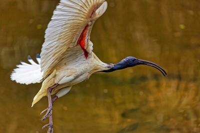 White Ibis - Flight 05