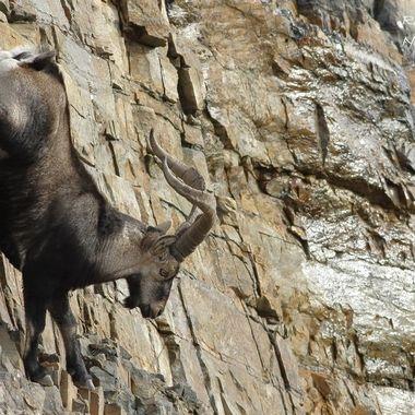 Macho de cabra montesa (Capra pyrenaica victoria), descendiendo por pared de cuarcitas,muy vertical. Sierra de Francia (Spain)