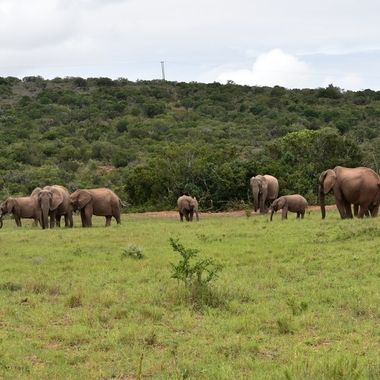 Elephant herd observed in Addo Elephant National Park.