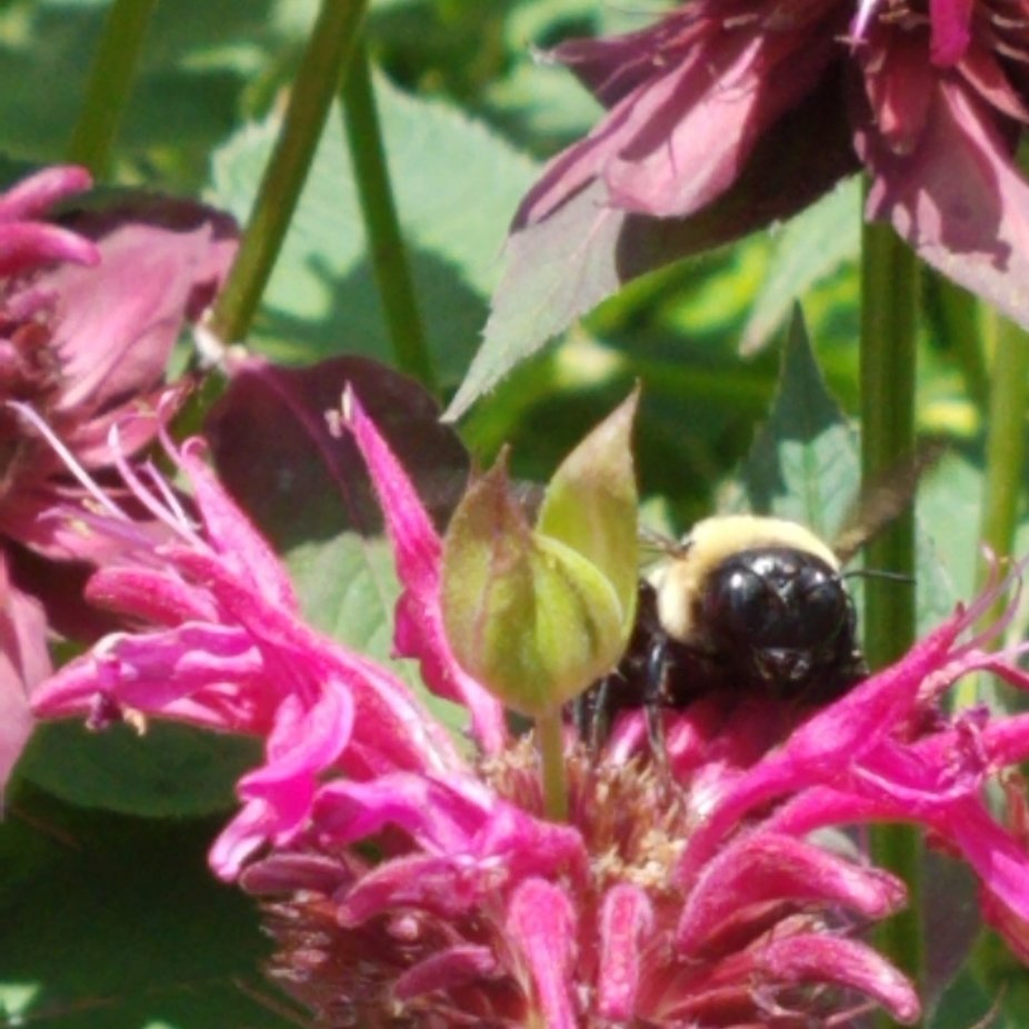 Nature is so beautiful to me. As I watched this bumble bee, I saw how the bee gathers pollen and moves each and every petal of the flower.